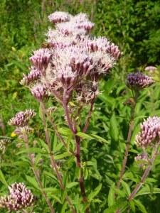 eupatoire chanvrine, phytothérapie, naturopathie, plante toxique