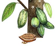 cacao botanique