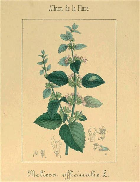 mélisse botanique