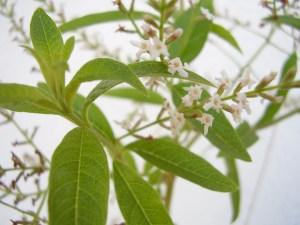 verveine odoranre Aloysia citriodora