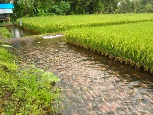 permaculture, poissons, riz