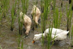 permaculture, riz, canards