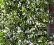 climbing plant with small white flowers