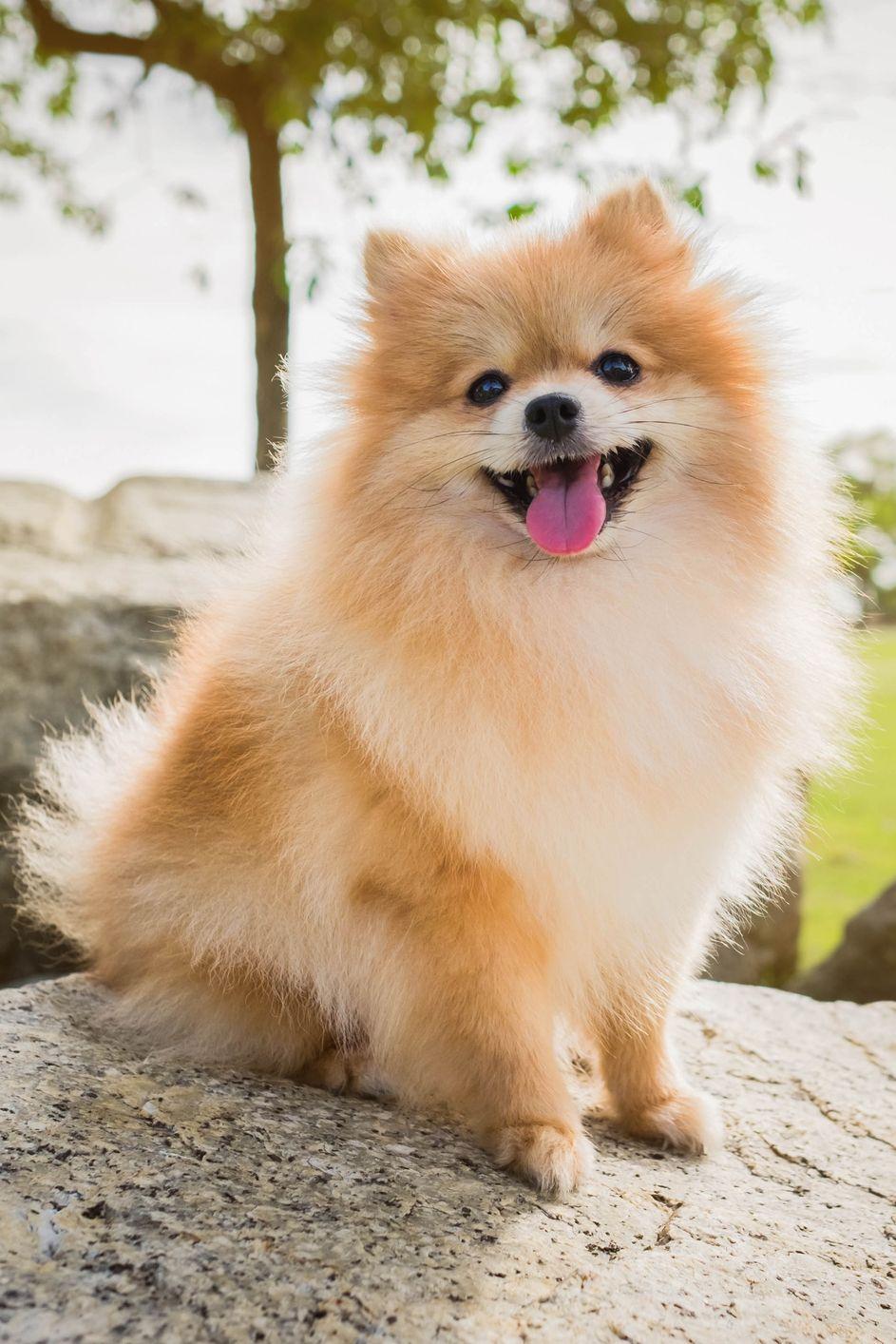 Mini Pom Dog : Miniature, Breeds, Breed
