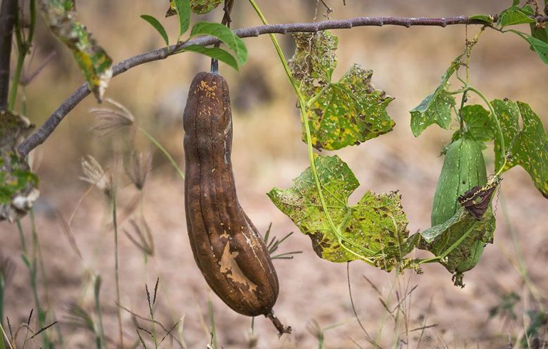 To harvest luffa gourds for making loofah sponges, let them wither on the vine.