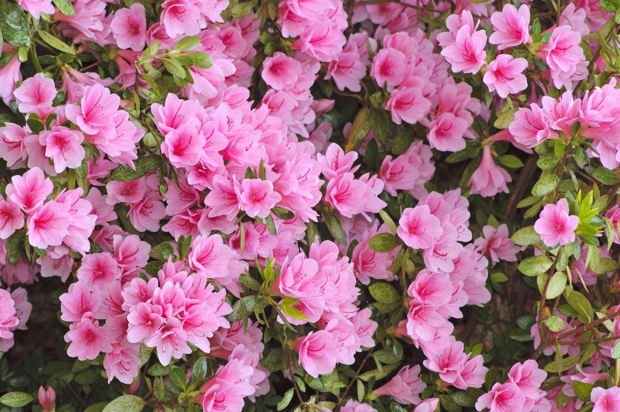flowering shrubs - blooming