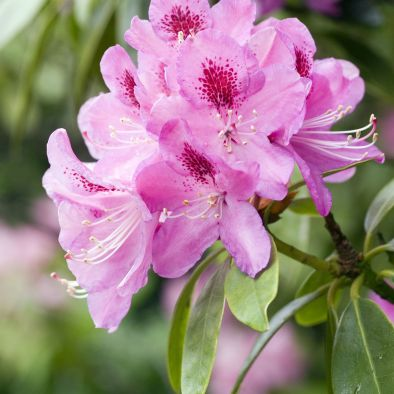 A beautiful rhododendron flower head