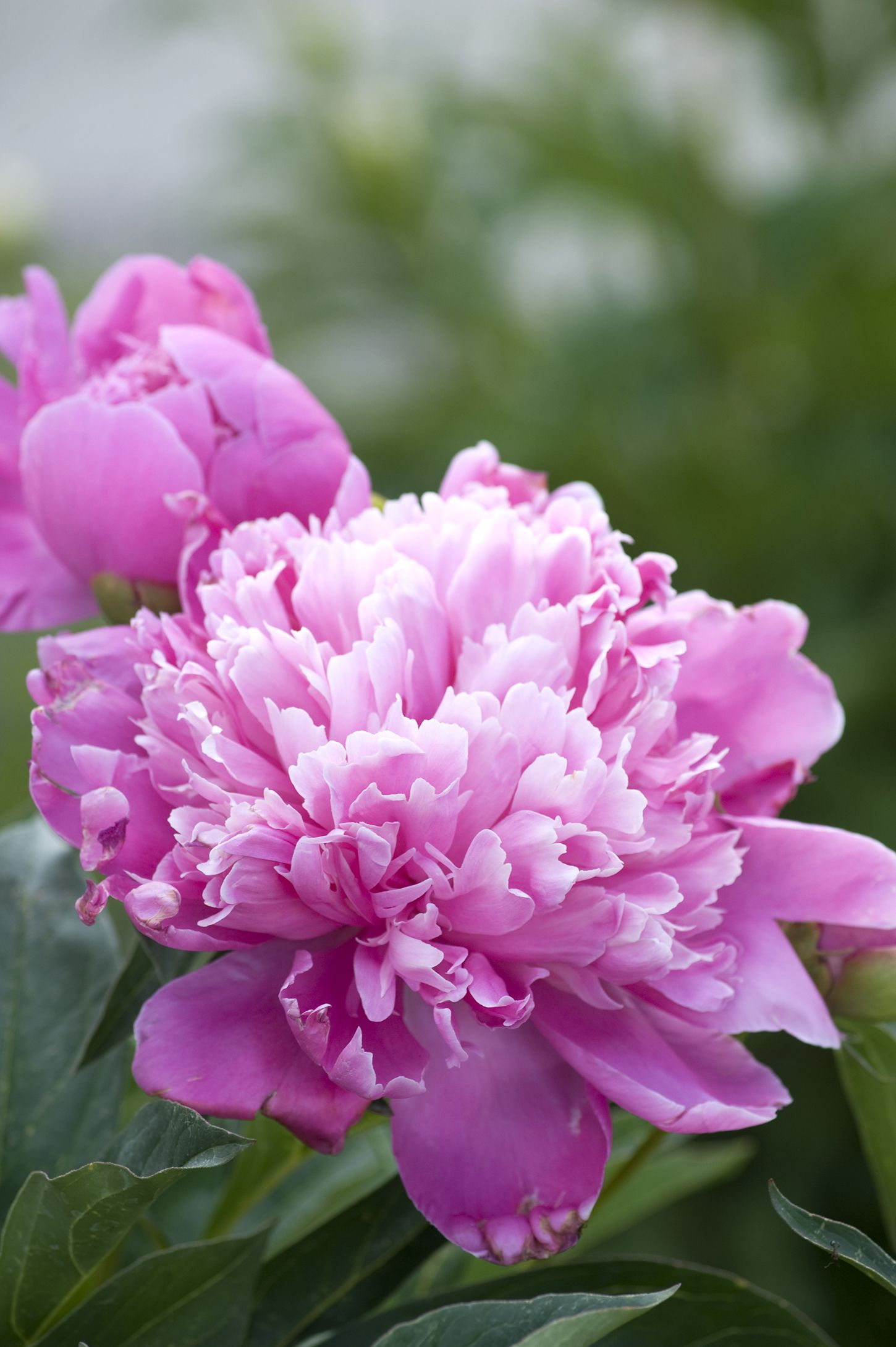 20 best perennial flowers