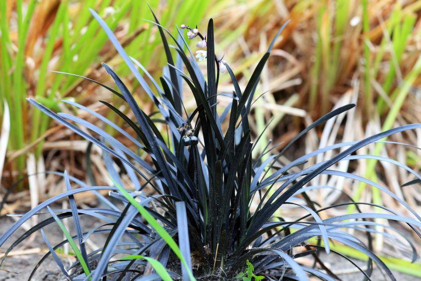 Black mondo grass ground cover plants
