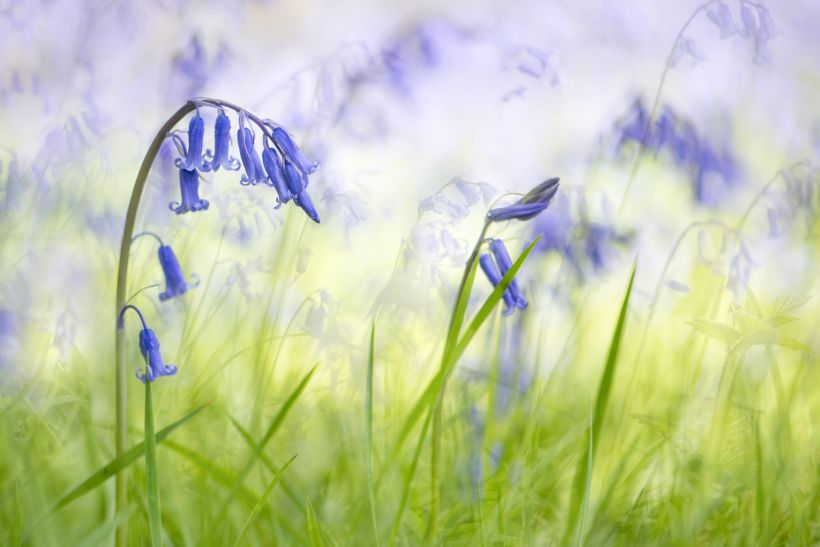 Blue Bell Flower Meaning In English Best Flower Site