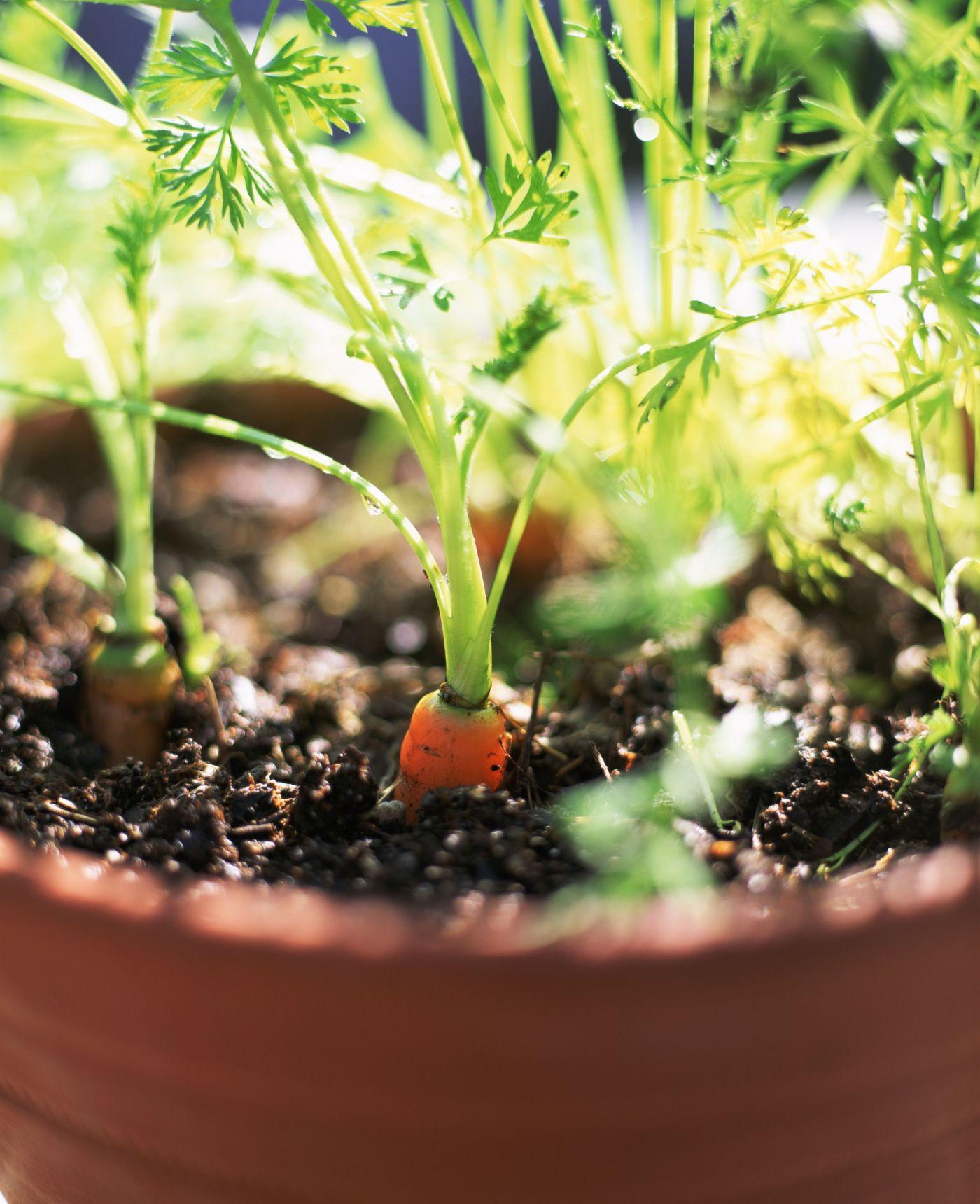maceta en la que crecen zanahorias