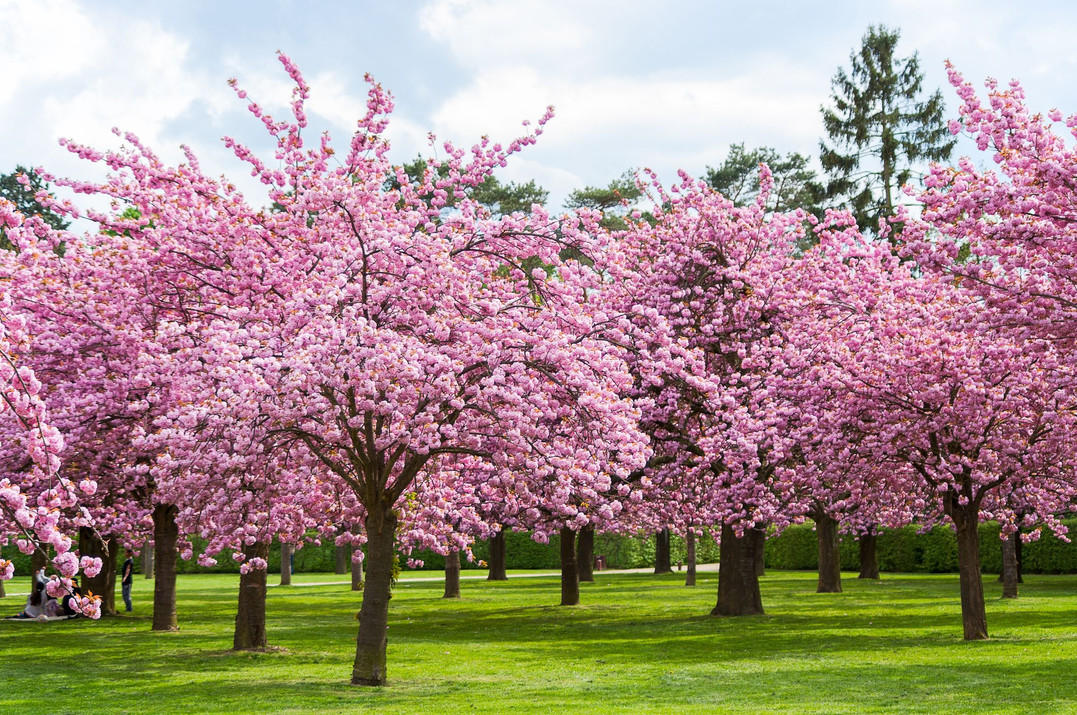 25 Cherry Blossoms Facts Things You Didn T Know About Cherry Blossom Trees