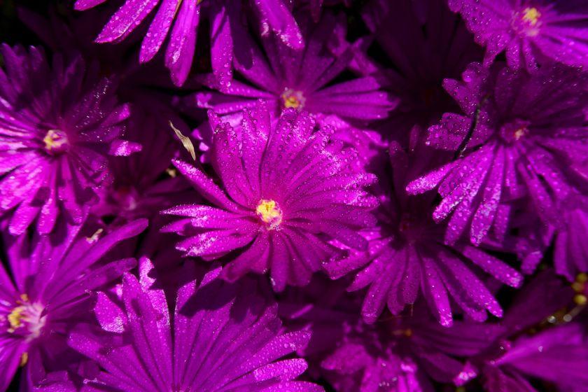 delosperma ground cover plants