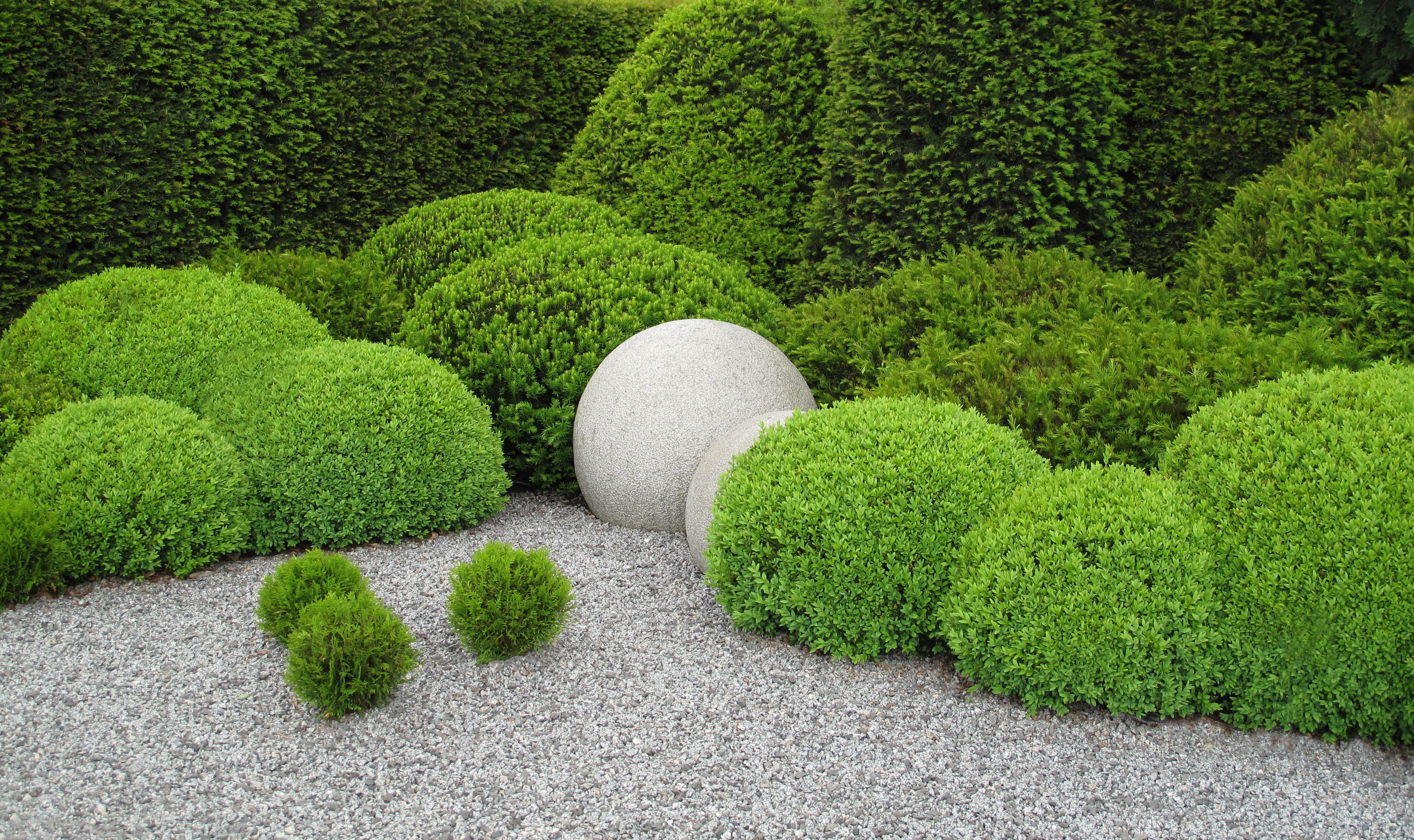 boxwood shrubs plant