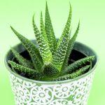8 Benefits Of Aloe Vera For Skin And Hair Aloe Vera Uses