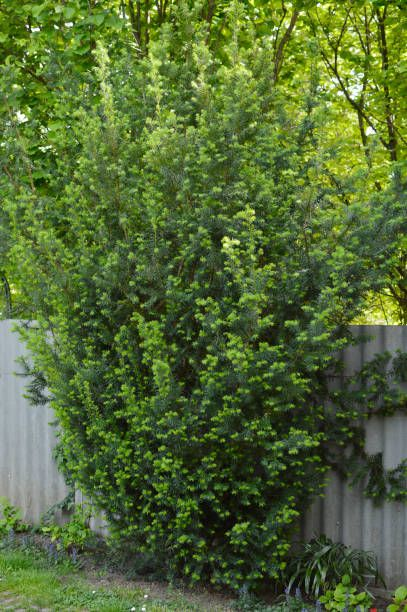 tall trees for privacy in your yard