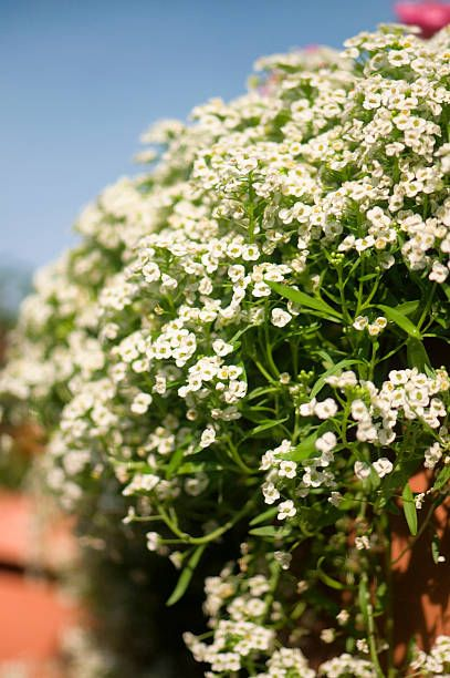 summertime blossoming white alyssum in bloom