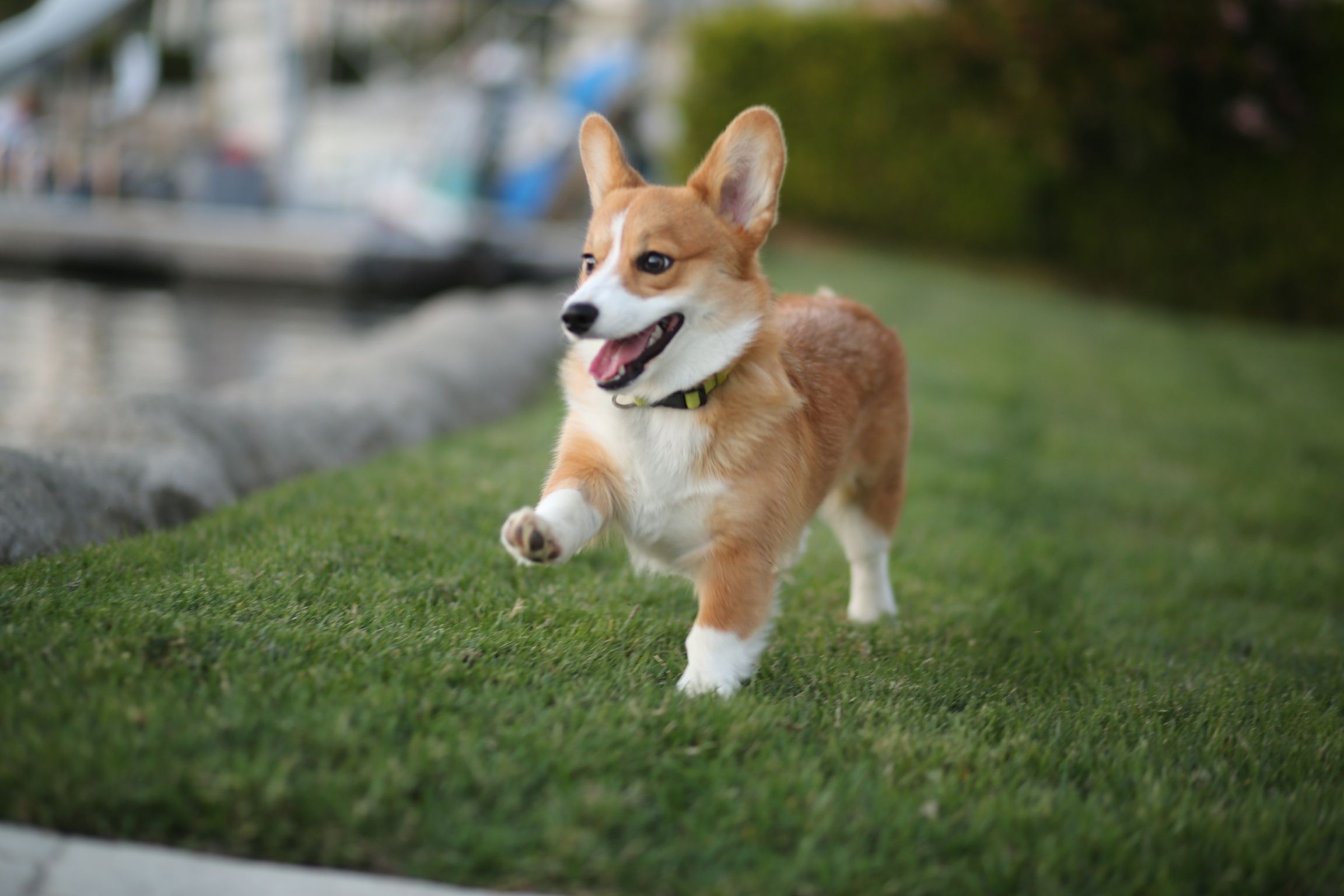 Please Stop What Youre Doing and Watch These Corgis Race
