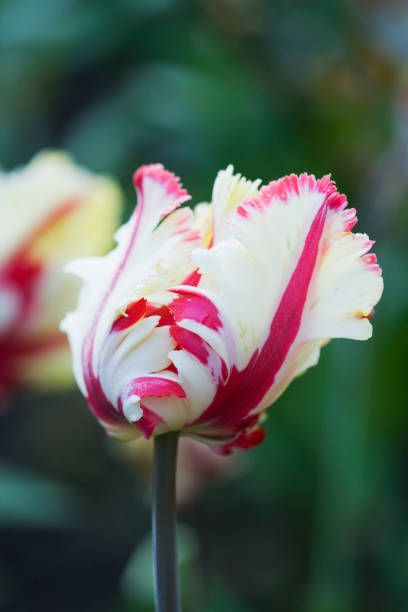 close up of the red and white flower of tulip carnival de nice