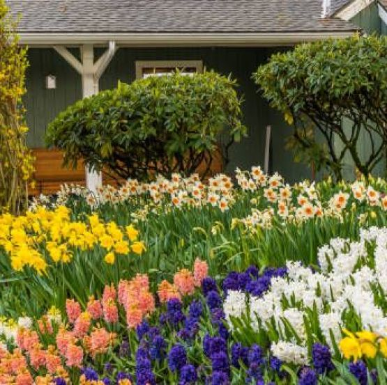 mt vernon, washington, united states   march 16, 2016 skagit valley daffodils beautiful outdoor scenery of colorful daffodils and hyacinth