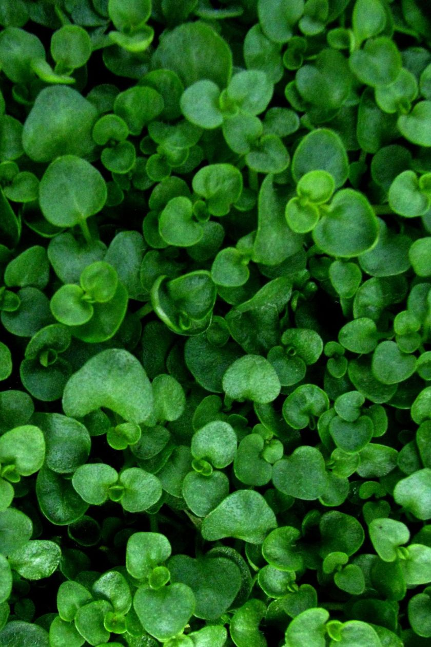 ground cover flowers corsican mint