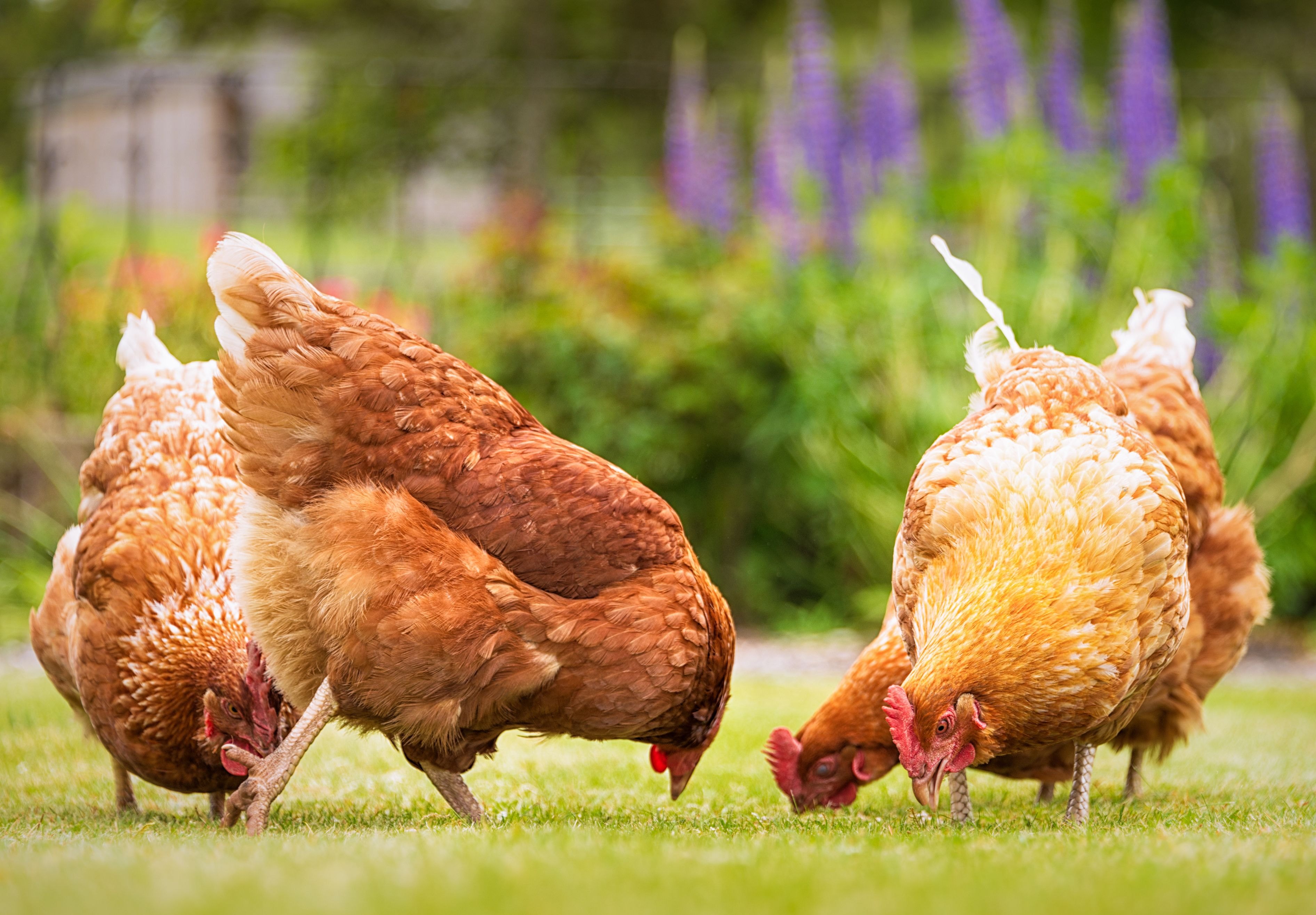 How To Raise Backyard Chickens Backyard Chickens 101