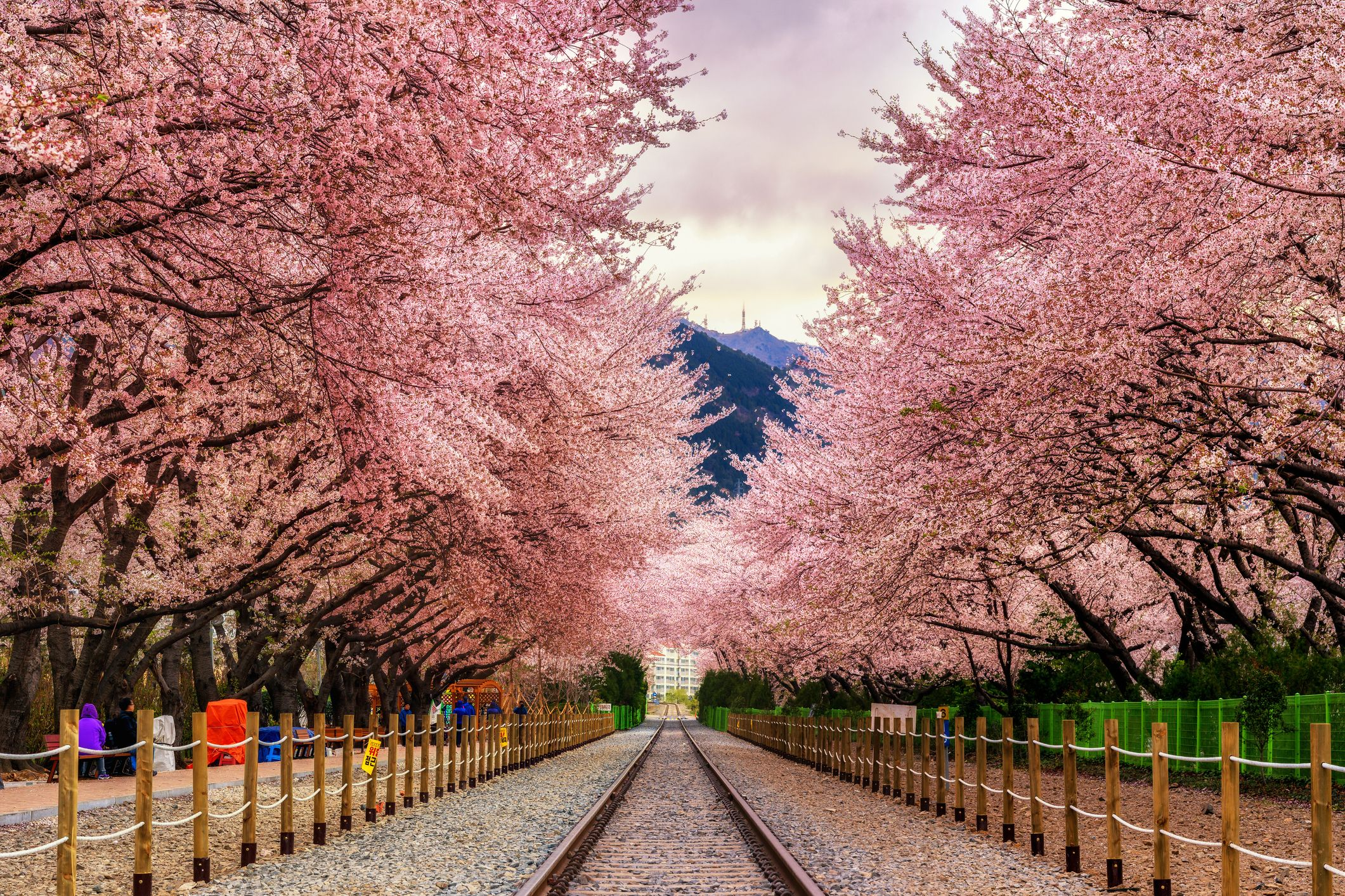 Best Cherry Blossom Cities In The WorldWhere to See