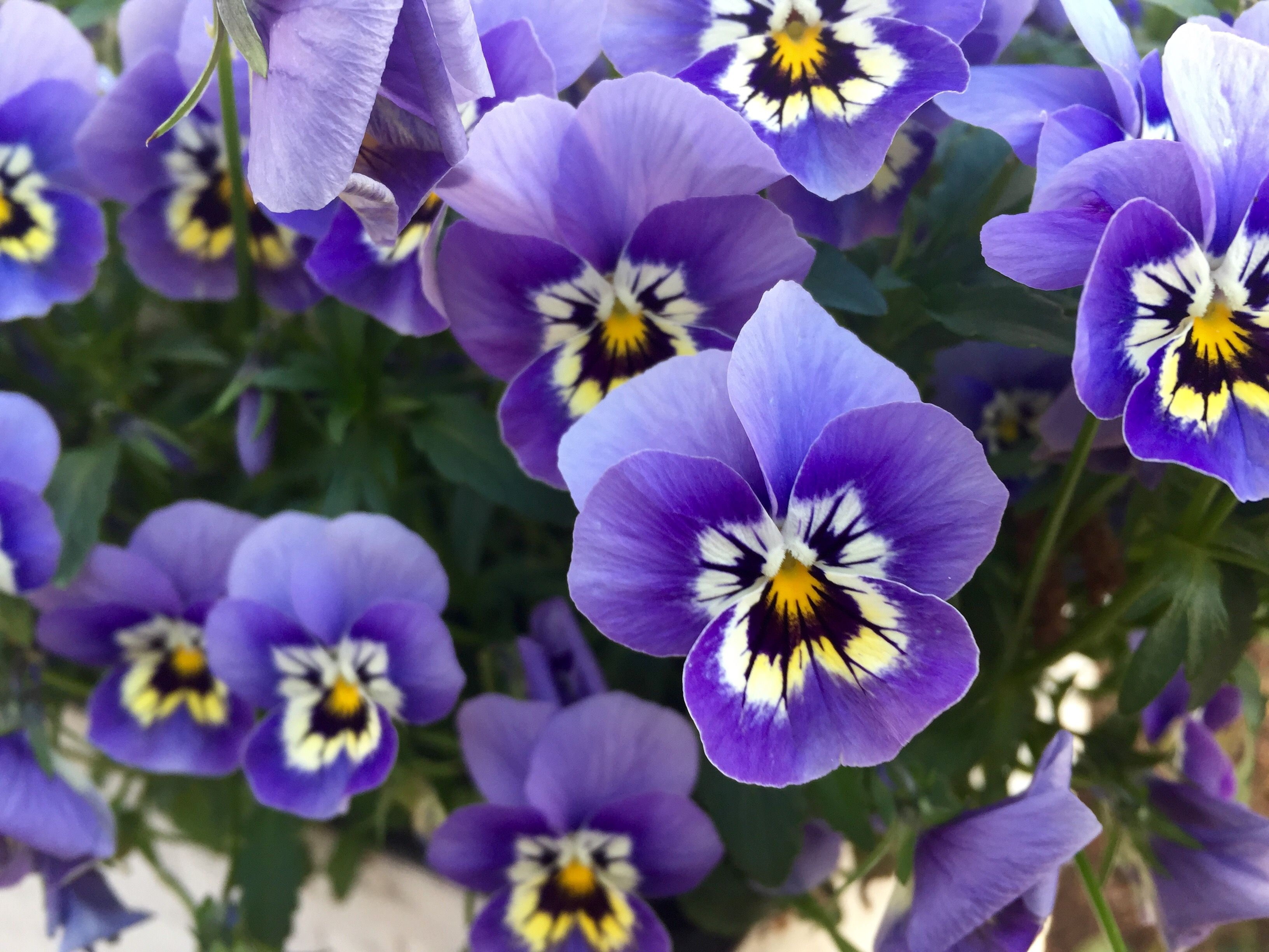 22 purple flowers for