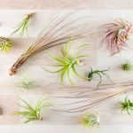 Air Plants The Complete Guide On How To Care For Display And Where To Buy These Houseplants