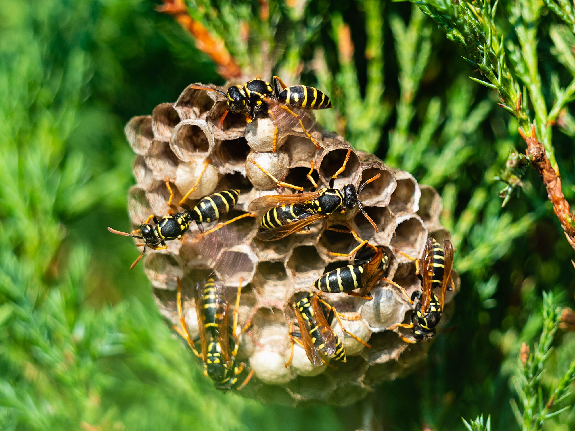 How To Get Rid Of Wasps Home Remedies For Wasp Removal