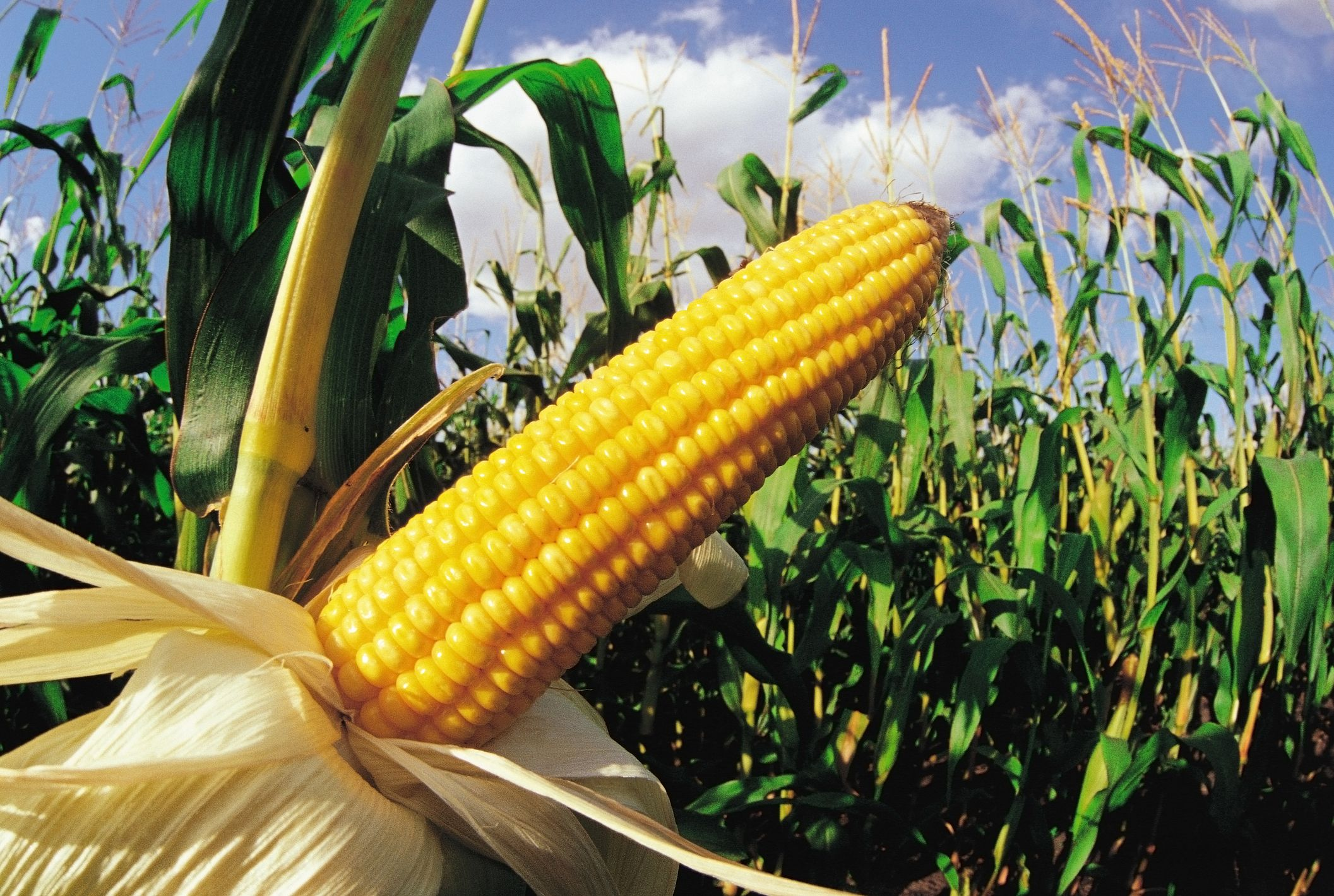 The Beginner's Guide To Growing Corn