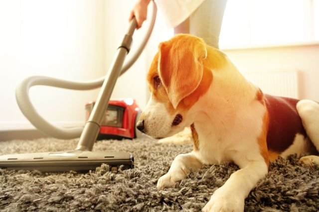 How to remove pet poop from the carpet
