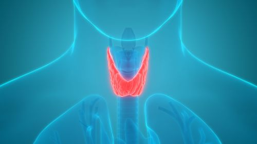 Human Body Glands Anatomy (Thyroid Gland) Anterior View