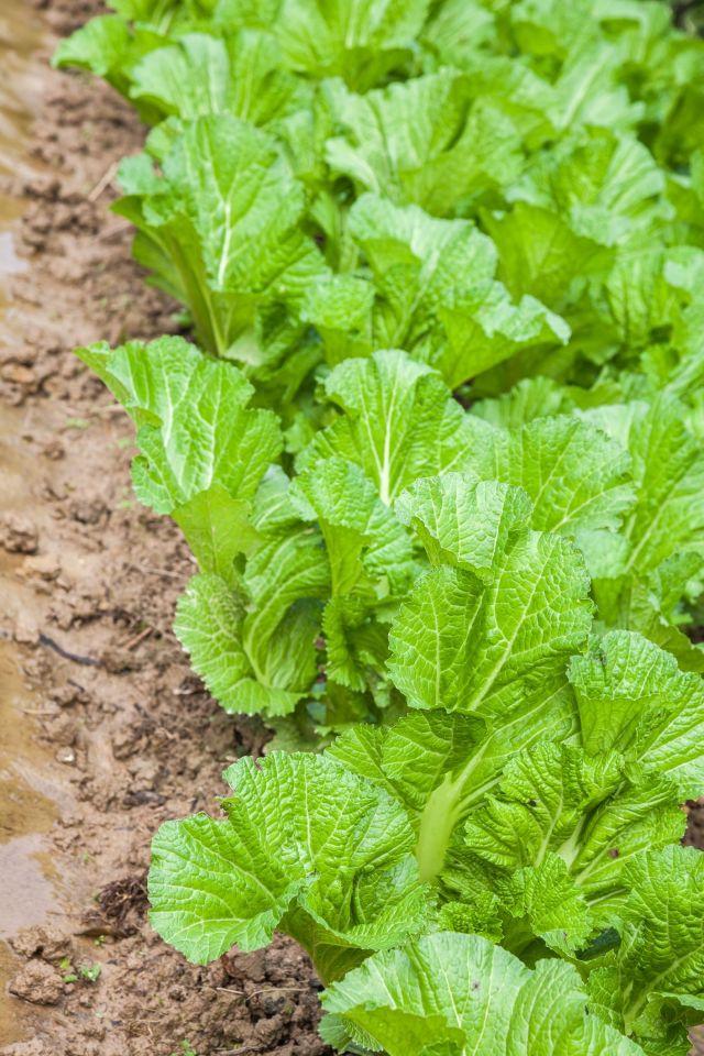 Verdura de mostaza dominada que crece en el jardín, una verdura verde con hojas grandes, se utiliza principalmente para verduras saladas