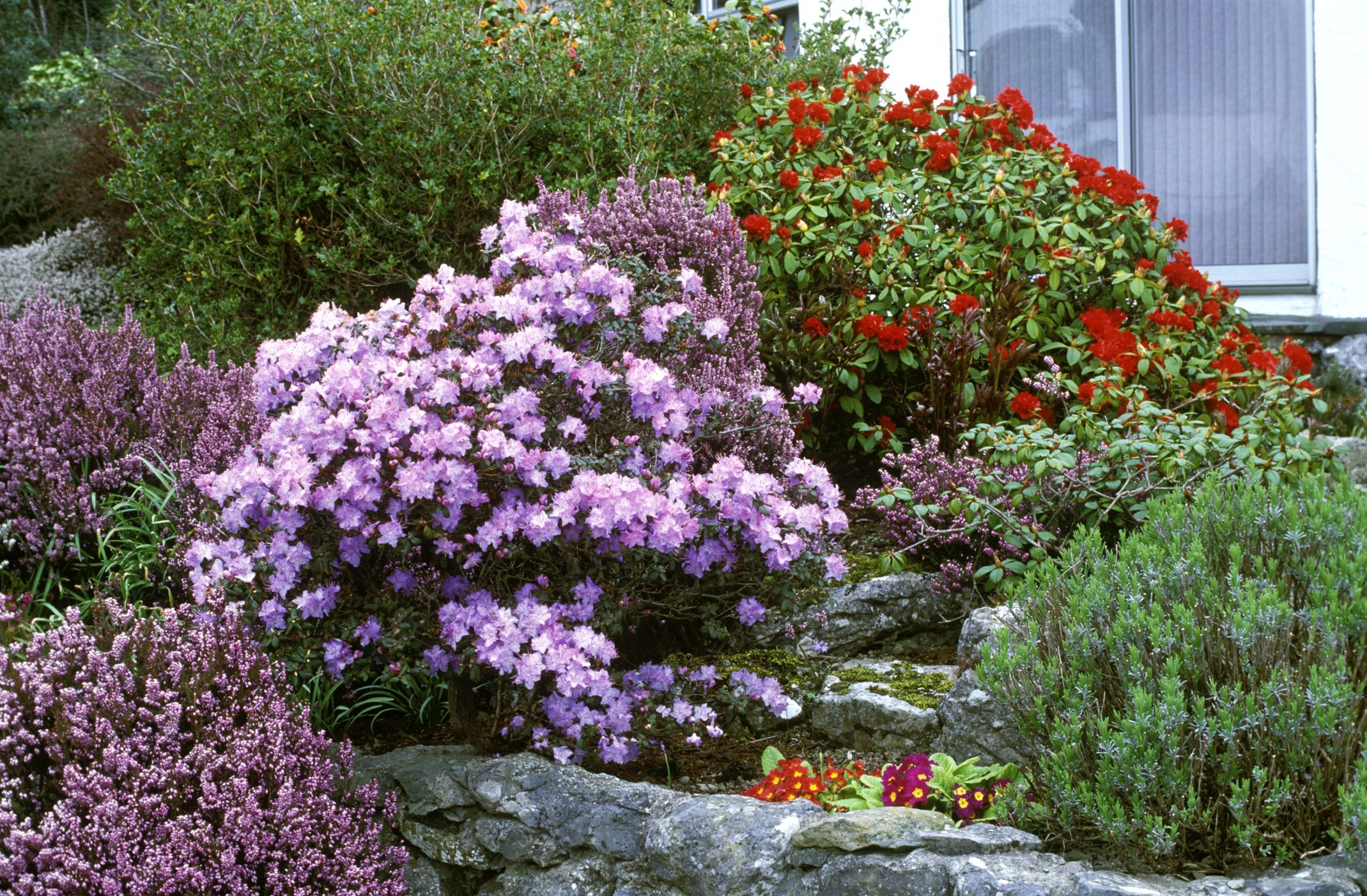 flowering shrubs - blooming