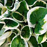 25 Best Shade Perennials Perennial Flowers For Shade