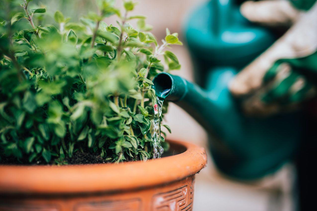 watering fresh planted herbage
