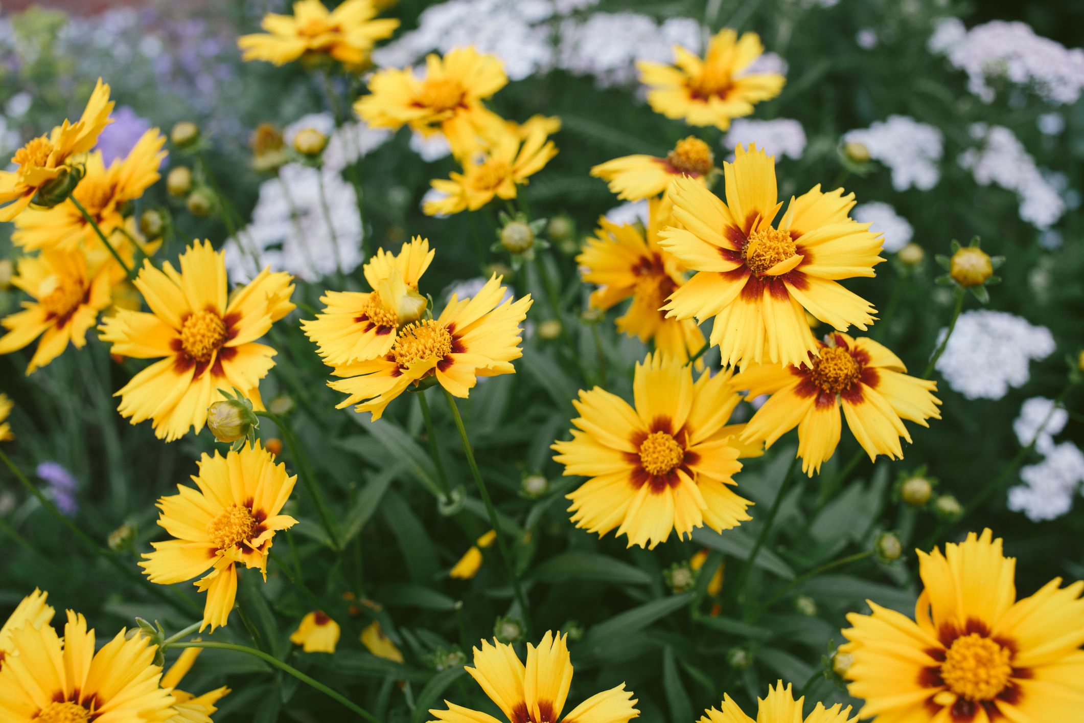 25 Yellow Flowers For Gardens Perennials Annuals With Yellow Blossoms