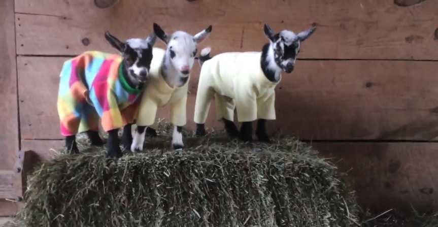 Newborn goats have a ridiculously cute pajama party