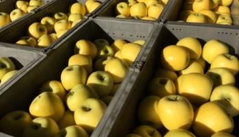 たくさんのりんご(王林)