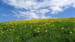 たんぽぽが咲く草原と青空
