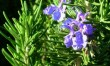 Rosemary: The Essential Oil That Fights Arthritis, Anxiety And Hair Loss — And Kills Bugs, Too
