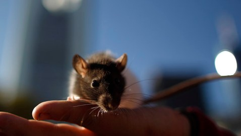 Remote-controlled rodents? Brain magnets make mice move on command
