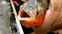 Warning is issued after dozens of bathers are savaged in a wave of horrific PIRANHA attacks at popular holiday resorts in Brazil