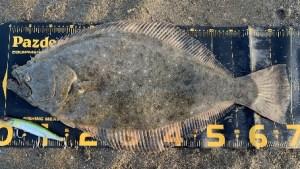 座布団ヒラメ,釣り方