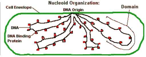bacteria-chromosome-to-membrane