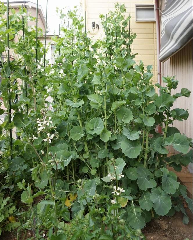 のらぼう菜と絹さやの壁