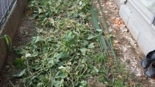 庭の畑リセットと発泡スチロールプランターのスイカ・・・