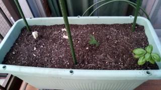 最近の家庭菜園と仕事と三女のリハビリメモ