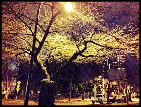 cherry tree1